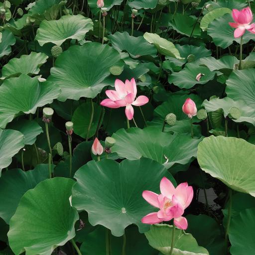 荷塘 荷花 鲜花 荷叶 盛开