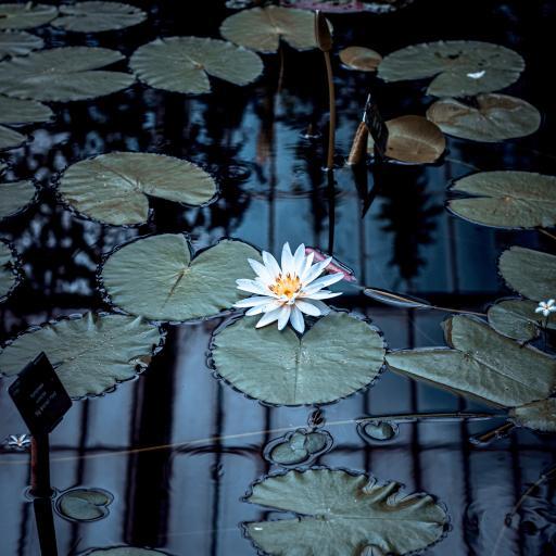 池塘 莲花 莲叶 水面