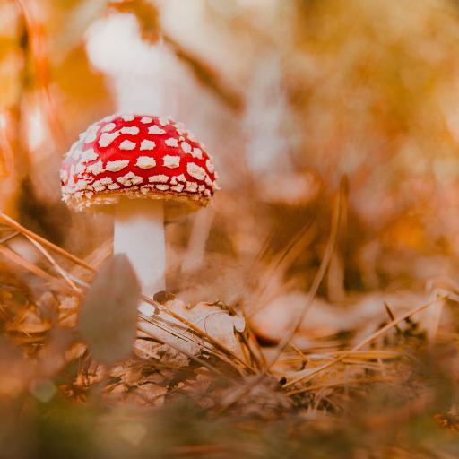 红蘑菇 菌类 菌菇 蘑菇