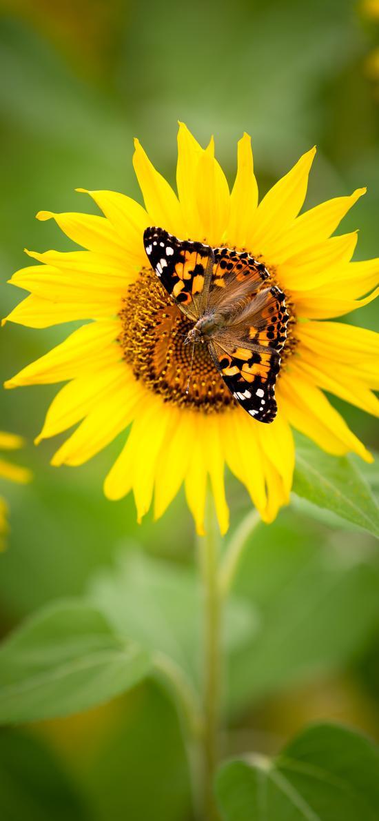蝴蝶 昆虫 向日葵 葵花