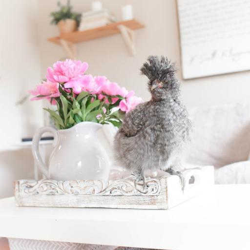 鸡 羽毛 丰盈 鲜花 花瓶