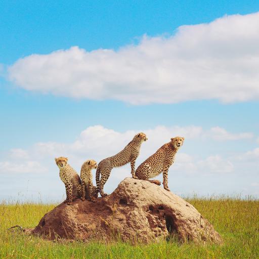 猎豹 野外 群居 石头 草原
