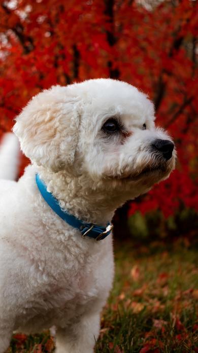 泰迪 宠物 白毛 狗 项圈