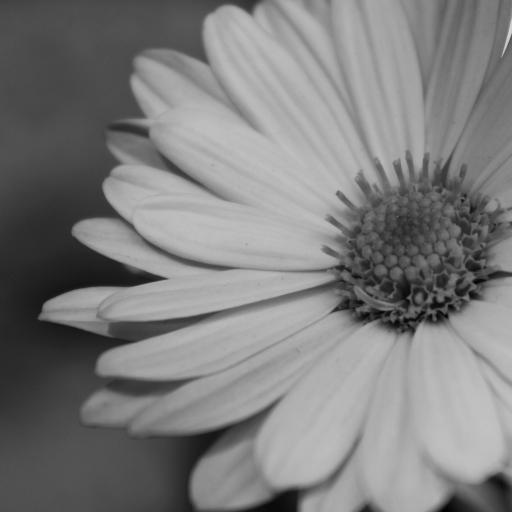 菊花 黑白 花朵 花蕊