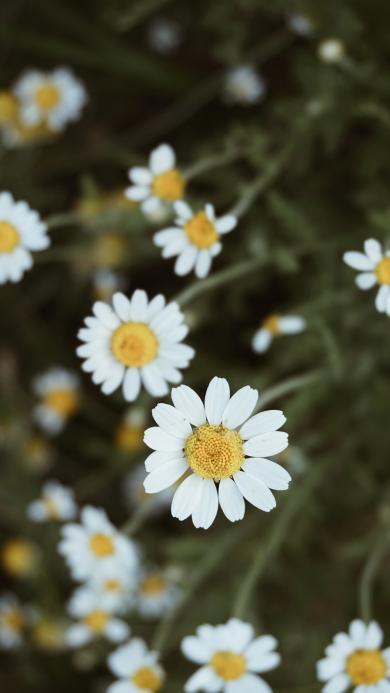 雏菊 菊花 生长 小花