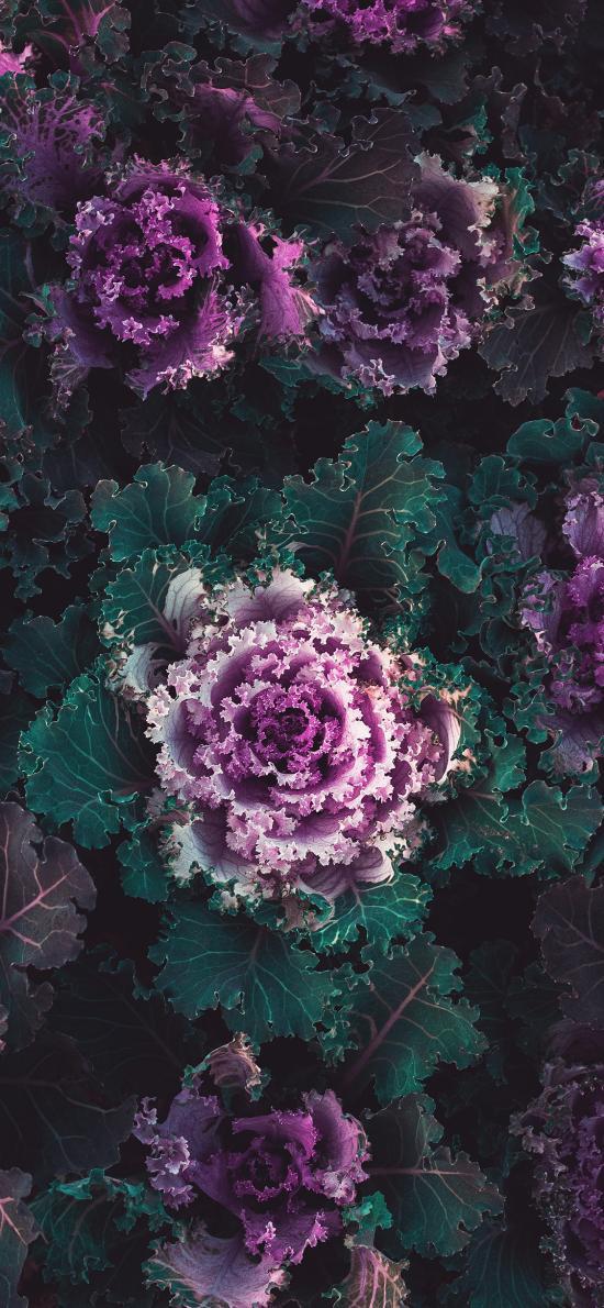 蔬菜 食材 紫甘蓝 种植