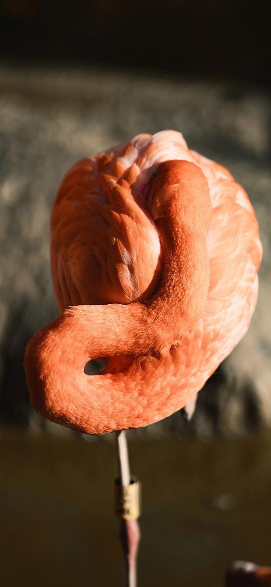 候鸟 火烈鸟 红色 保护动物