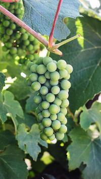 水果 葡萄 枝叶 青提