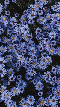 雏菊 花圃 紫 盛开 密集