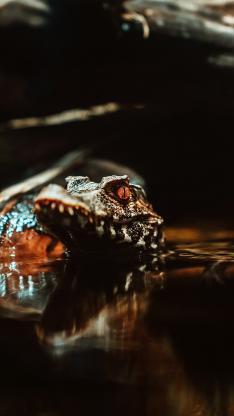 鳄鱼 两栖动物 食肉 凶猛
