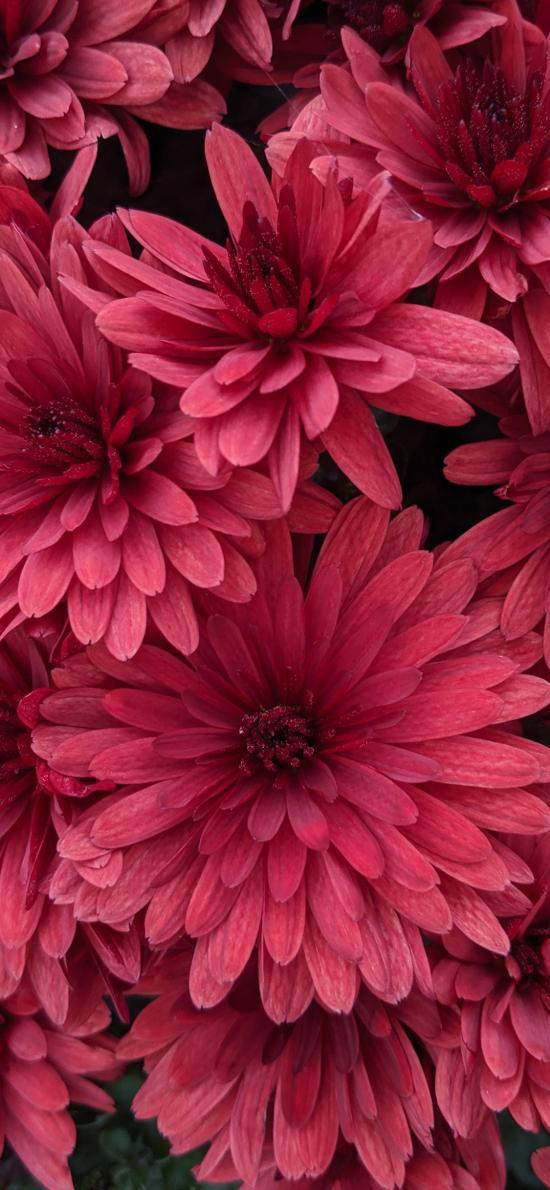 鲜花 菊花 粉色 鲜艳