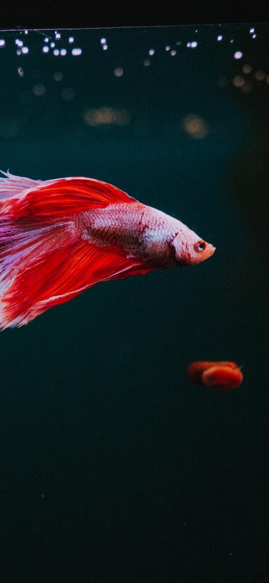 热带 斗鱼 小鱼 色彩