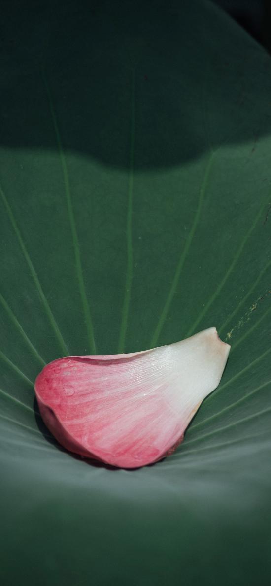 花瓣 鲜花 荷叶 花季
