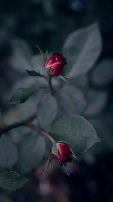 鲜花 玫瑰 枝叶 花苞