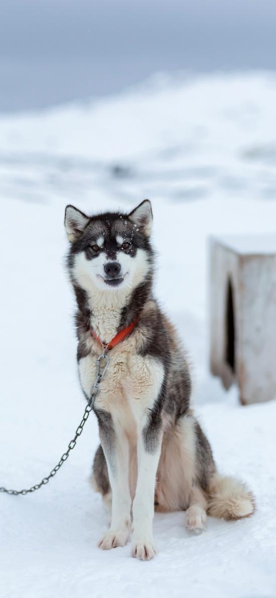 雪地 雪橇犬 阿拉斯加 狗链子