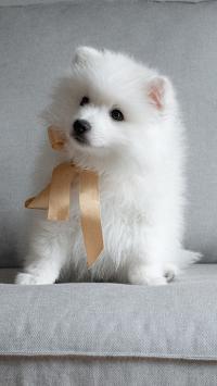 沙发 萨摩 小狗 宠物 可爱