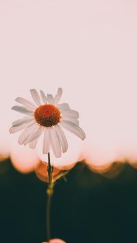 雏菊 菊花 盛开 花朵