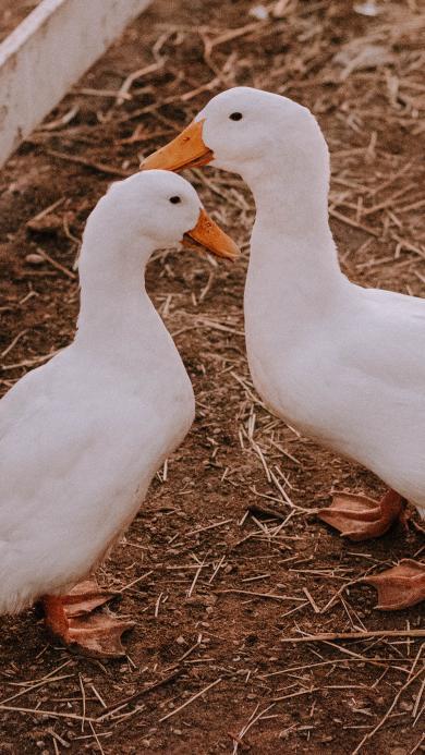 鸭子 饲养 家禽