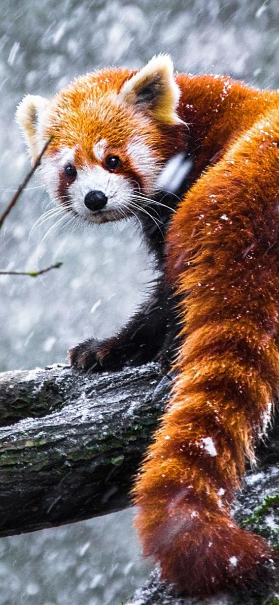 树干 雪季 雪花 小熊猫