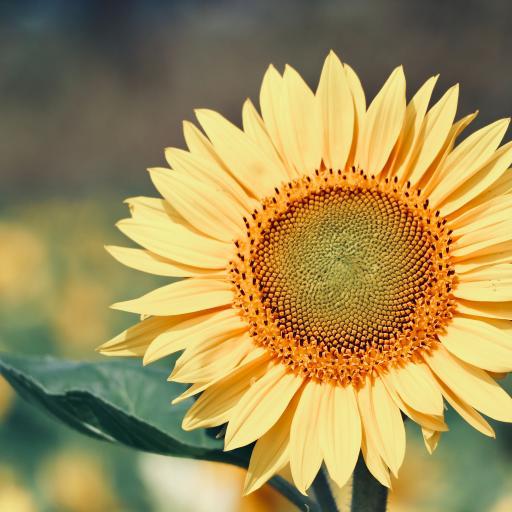 向日葵 葵花 鲜花