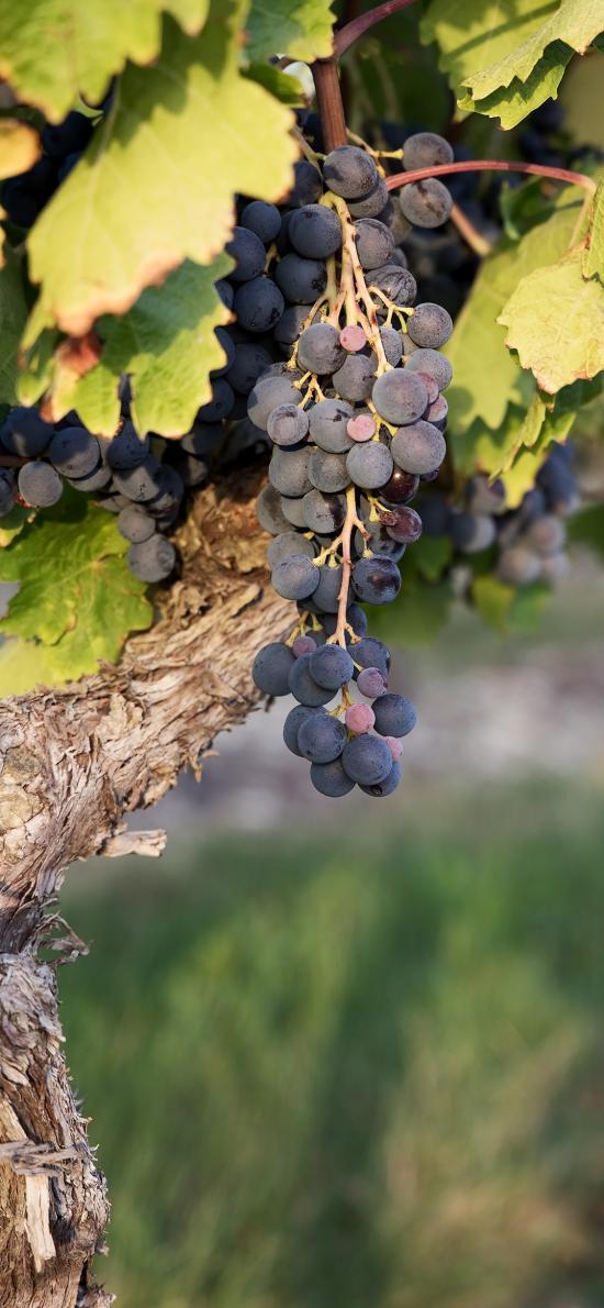 葡萄 水果 葡萄树 新鲜