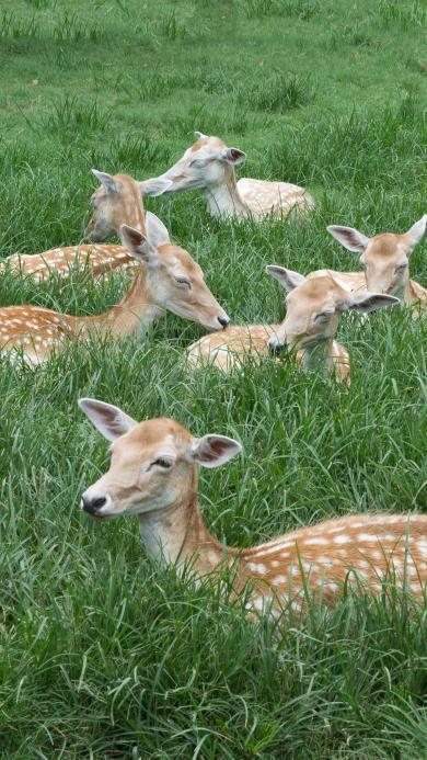 梅花鹿 草地 鹿群 饲养