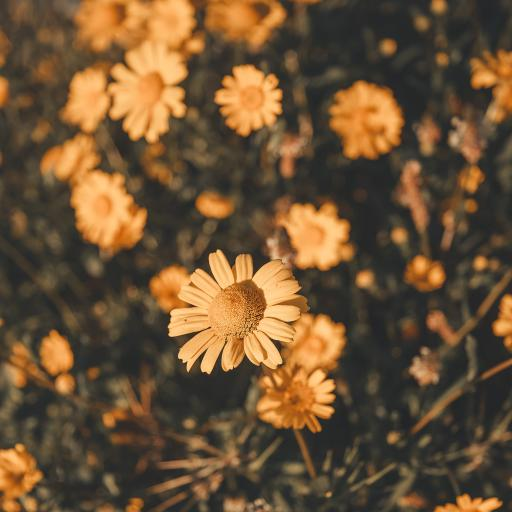 雏菊 鲜花 花朵 密集
