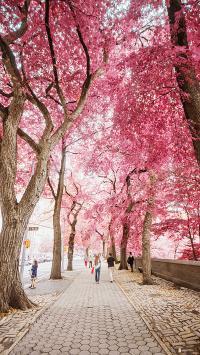 树木 红叶 街道 粉红