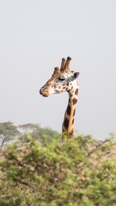 长颈鹿 树枝 野外 头部