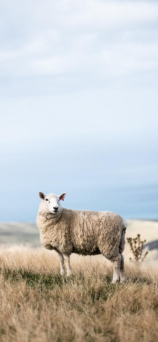 绵羊 草地 放牧 牧畜
