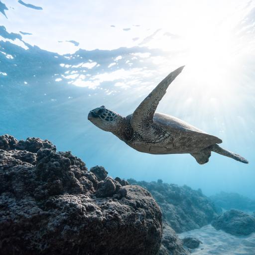 海龟 海洋 游动 珊瑚礁