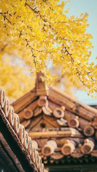 银杏 树枝 屋檐 国风 建筑