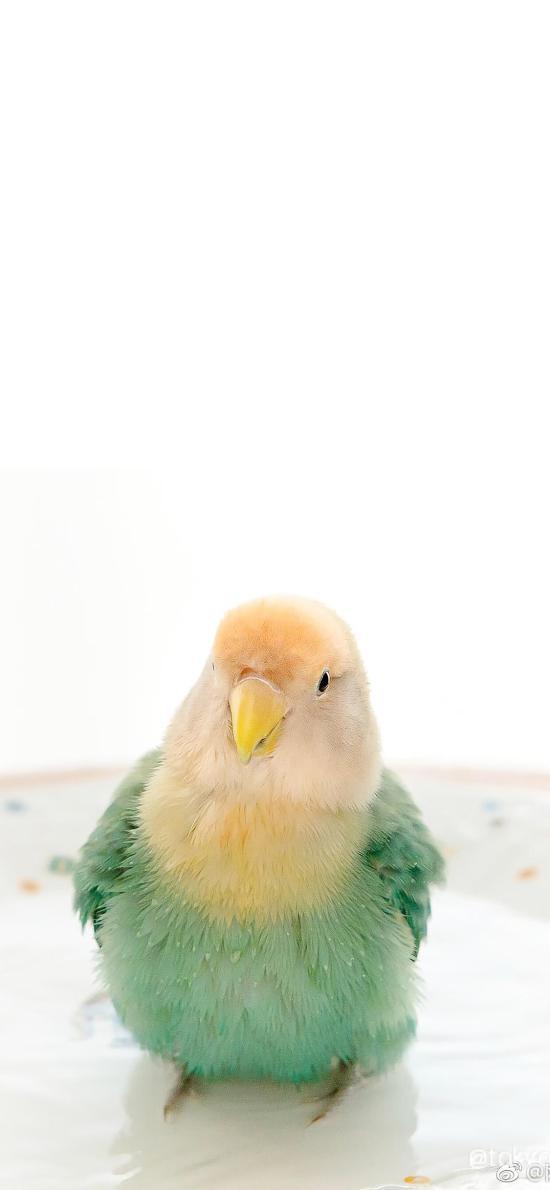 鹦鹉 小鸟 可爱 宠物