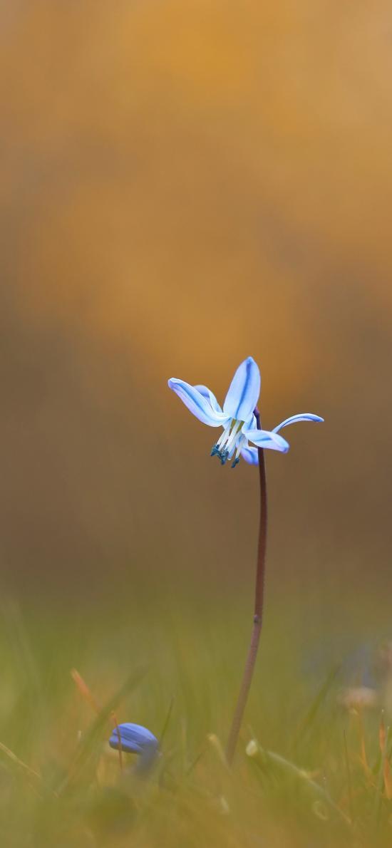 鲜花 兰花 蓝色 一枝独秀