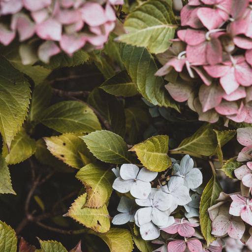 植株 鲜花 绣球花 叶子