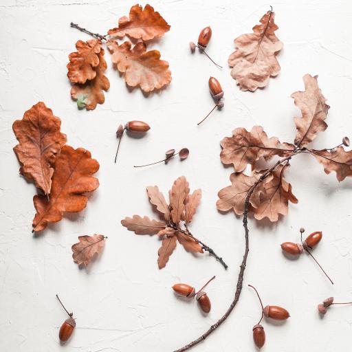树叶 枯叶 落叶 榛子