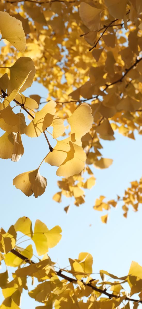 树叶 银杏 枯黄 树枝