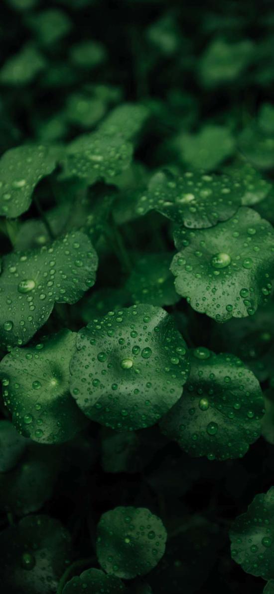 绿植 草本植物 铜钱草 露珠