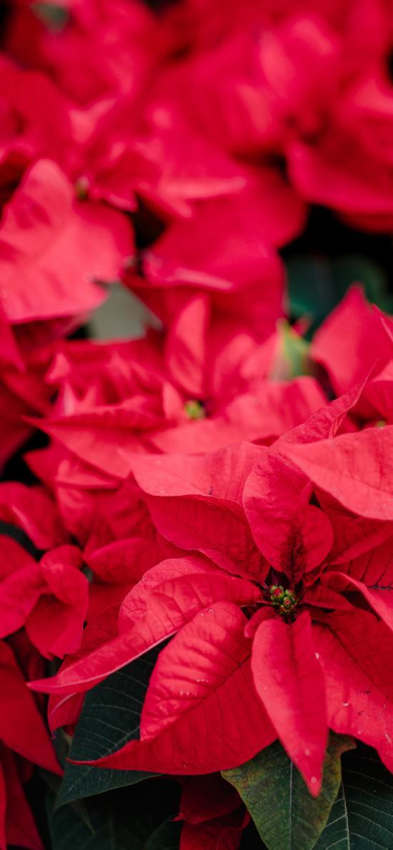 一品红 鲜花 观赏 盛开 花期