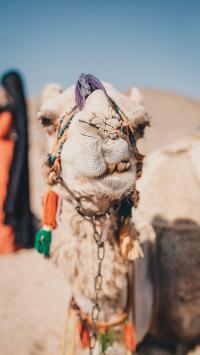 沙漠之舟 骆驼 特写 代步 运输