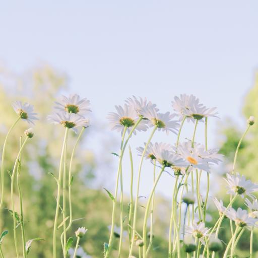 雏菊 菊花 鲜花 盛开
