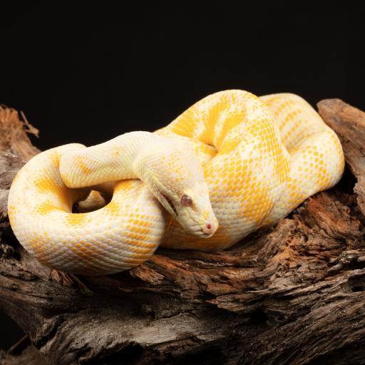黄金蟒 木桩 蟒蛇 冷血