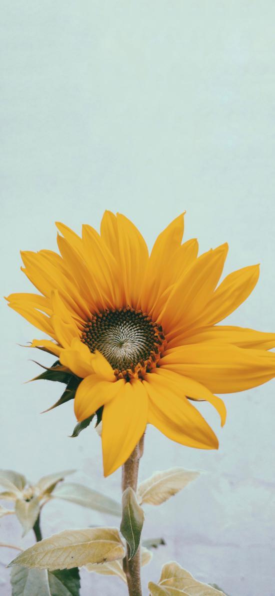 向日葵 盛开 枝干 花朵