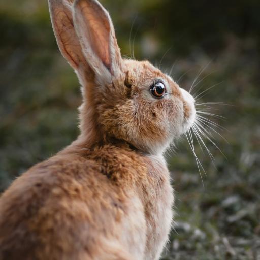 兔子 野兔 皮毛 牲畜