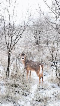 鹿 狍子 树林 树丛 雪地
