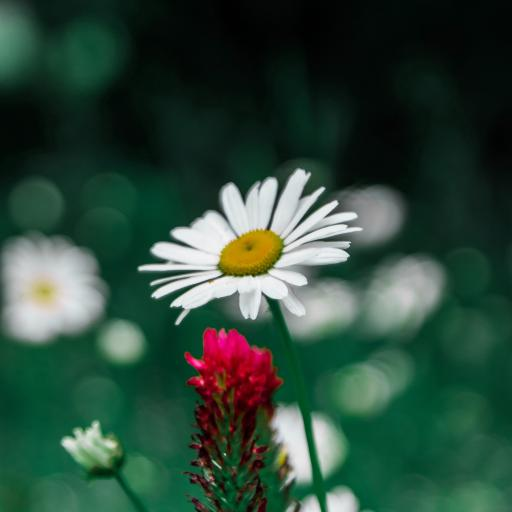 雏菊 鲜花 鲜花 盛开