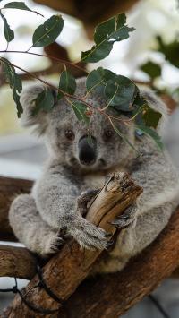 树木 考拉 呆萌 澳大利亚