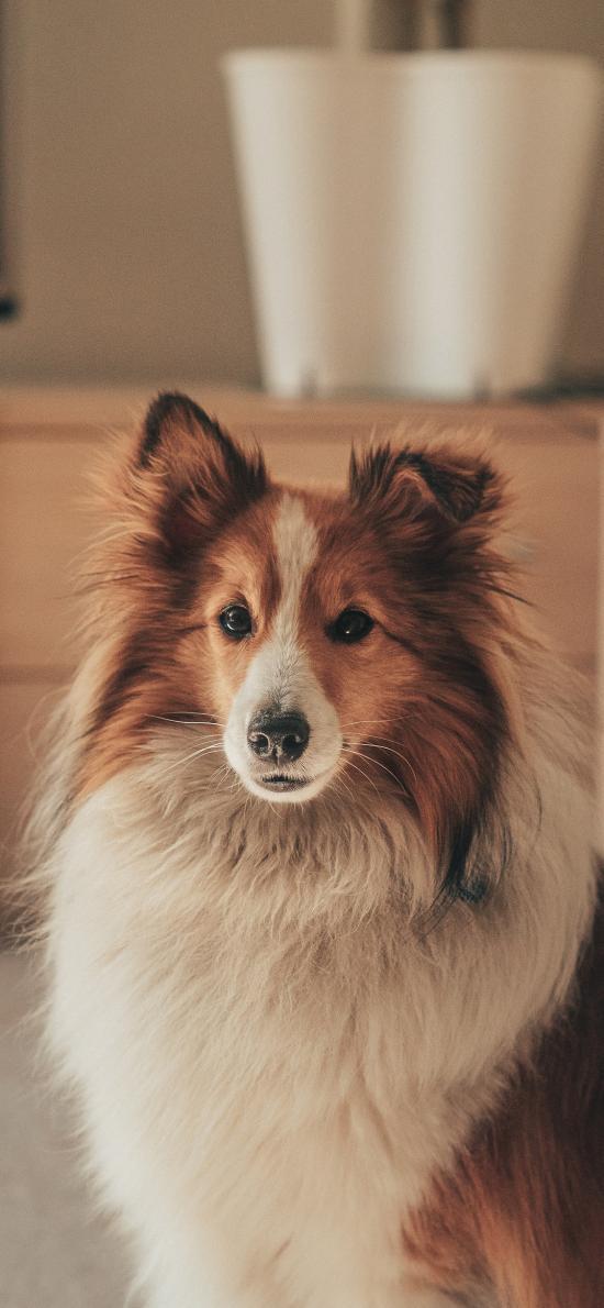 宠物狗 喜乐蒂 品种 聪明 汪星人