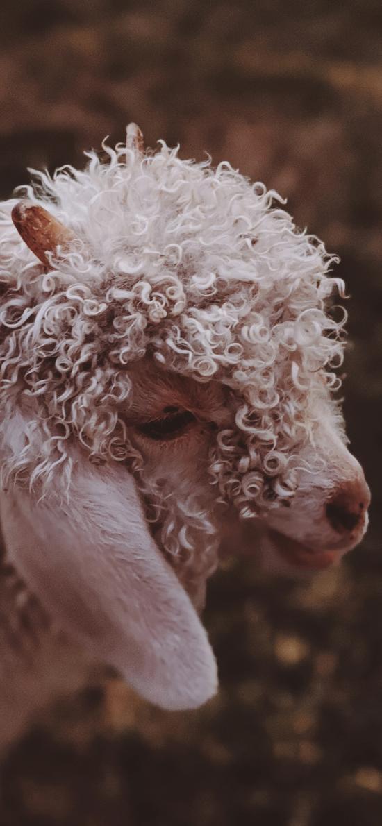 绵羊 羊毛 卷毛 牲畜 畜牧