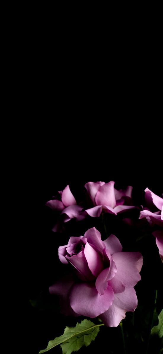 玫瑰 鲜花 花朵 盛开